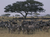 Zebras and Wildebeests in the Serengeti National Park Photographic Print by Annie Griffiths Belt