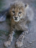A Close View of a Juvenile African Cheetah, Acinonyx Jubatus Jubatus Photographic Print by Tino Soriano