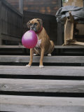 A Tough Looking Bulldog Delicately Holds a Balloon in Morro Bay Photographic Print by Marc Moritsch