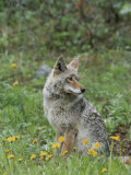 Coyote with Wildflowers Photographic Print by Norbert Rosing