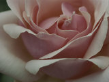 Close View of a Pink Rose Blossom Photographic Print by Ted Spiegel