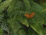 An Orange Leopard Butterfly Rests on Green Leafy Ferns Fotoprint van Nicole Duplaix