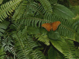 An Orange Leopard Butterfly Rests on Green Leafy Ferns Impressão fotográfica por Nicole Duplaix