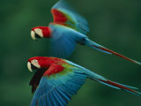 A Mated Pair of Red-And-Green Macaws Fotografisk tryk af Joel Sartore