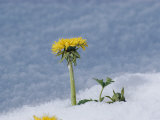 A Dandelion Pushes up Through a Late Spring Snow Photographic Print by George F. Mobley