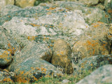 A Young Arctic Fox Peers from Behind Lichen-Covered Granite Boulders Photographic Print by Norbert Rosing