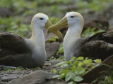 Two Waved Albatrosses Sit Facing One Another Photographic Print by Michael Melford