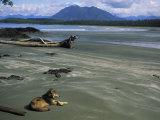 Gray Wolf on Beach Stampa fotografica di Sartore, Joel