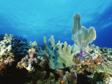 Underwater View of a Reef in the British Virgin Islands Fotografisk tryk af Raul Touzon