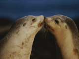 Whisker Touch Display Between Two Juvenile Australian Sea Lions Photographic Print by Jason Edwards