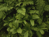 A Close View of Ferns and Hellebore Photographic Print by Raymond Gehman