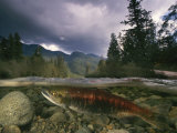 A Spawning Sockeye Salmon in a Shallow Channel Photographic Print by Paul Nicklen