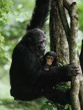 A Female Chimpanzee Climbs a Tree with Her Infant Lámina fotográfica por Nichols, Michael