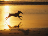 A Pet Dog Runs with a Frisbee on a Beach Photographic Print by Bill Curtsinger
