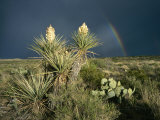 Desert Landscape with Yucca and Prickly Pear Cacti and Rainbow Photographic Print by Medford Taylor