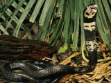 Black Forest Cobra Native to Africa Photographic Print by George Grall