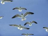 Laughing Gulls Hover against a Blue Sky Photographie par Al Petteway