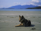 Gray Wolf on Beach Photographic Print by Joel Sartore