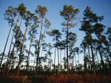 View at Sunset of Towering Pine Trees in Everglades National Park Photographic Print by Raul Touzon