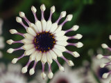 A Close View of a Pink South African Daisy Impressão fotográfica por Jonathan Blair