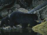 Gros plan d'un ours en eau peu profondes à côté d'un rocher couvert de mousse Photographie par Joel Sartore