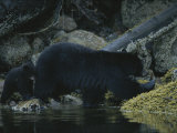 Close View of a Bear Standing in Shallow Waters by Moss-Covered Rocks Photographic Print by Joel Sartore