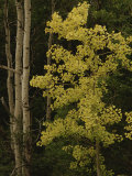 Aspens Stand Tall in This Woodlands View Photographic Print by Raymond Gehman