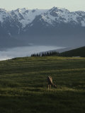 A Deer Grazes in an Alpine Meadow in Olympic National Park Photographic Print by Sam Abell