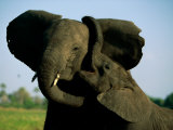 A Young Elephant Wraps its Trunk Around a Friend Photographic Print by Beverly Joubert