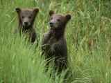 Two Grizzly Bear Cubs in Tall Grass in Katmai National Park Photographic Print by Michael Melford