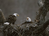 A Pair of American Bald Eagles in Their Nest Photographic Print by Roy Toft