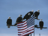 A Group of Northern American Bald Eagles Sit on a Trees Sparse Perches Fotografiskt tryck av Norbert Rosing