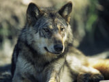 Gray Wolf Photographic Print by Joel Sartore