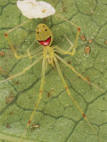 Closeup of a Happy Face Spider (Theridion Grallator) Guarding Her Eggs Photographic Print by Darlyne A. Murawski