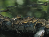 A Group of Baby American Crocodiles Rest on a Partially Submerged Log Photographic Print by Steve Winter