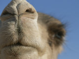 This Dromedary Camel is Ready for a Closeup in the Sahara Desert Photographic Print by Peter Carsten