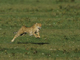 A Cheetah Seems to Fly in the Air as it Runs Photographic Print by Norbert Rosing