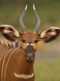Portrait of a Bongo Antelope Photographic Print by Michael Fay