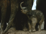 Close View of Captive Baby Asian Elephant Photographic Print by Michael Nichols