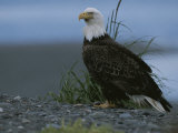 A Close View of an American Bald Eagle in Profile Photographic Print by Roy Toft