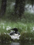 Snow Falls on a Loon Incubating its Nest Papier Photo par Michael S. Quinton
