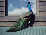 A Peacock Peers in the Window of a Building Photographic Print by Medford Taylor