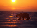 A Polar Bear is Silhouetted against the Arctic Sunset Photographic Print by Paul Nicklen