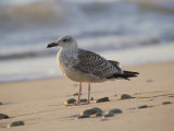 Seagull on the Beach Photographic Print by Todd Gipstein