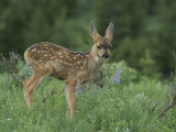 Mule Deer Fawn Photographic Print by Norbert Rosing