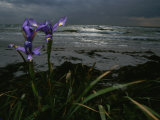 Purple Irises on Beach Photographic Print by Mattias Klum
