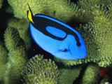 A Bright Blue Palette Surgeonfish, Paracanthurus Hepatus Photographic Print by Tim Laman