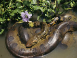 An Anaconda Basks in the Sun Next to Some Flowers in a River Photographic Print by Ed George