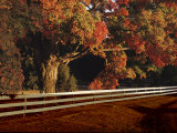 An Autumn View of a White Wooden Fence and a Maple Tree in Virginia Photographic Print by Medford Taylor