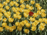A Single Red Tulip Among Yellow Tulips Photographic Print by Ted Spiegel